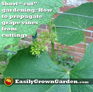 Short cut gardening: Propagating grape vines from cuttings