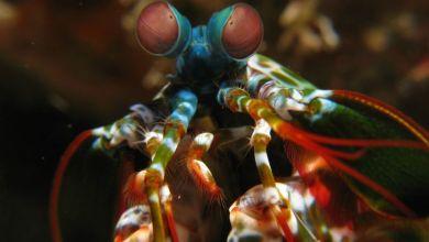 Shrimp bees