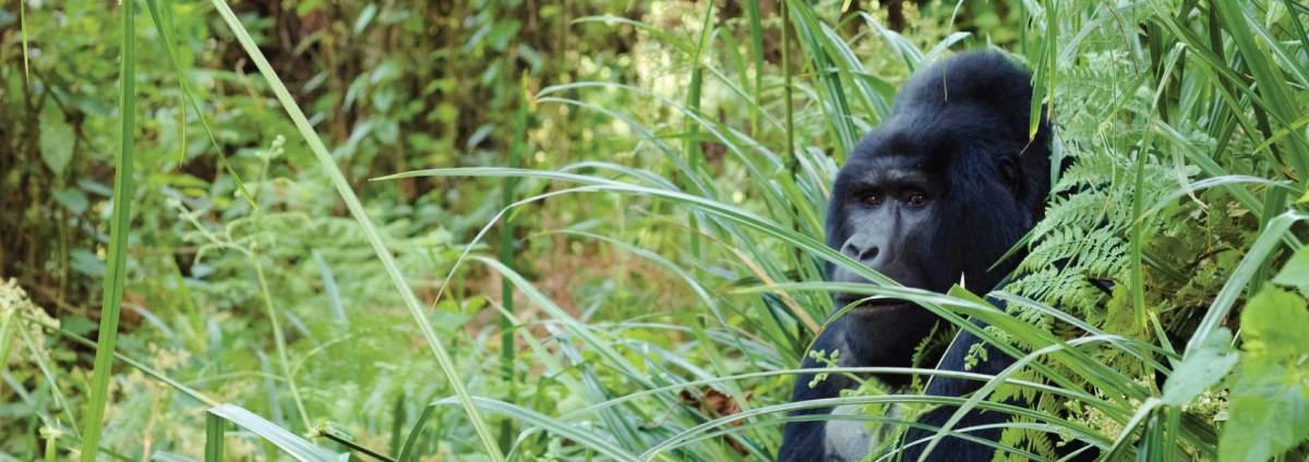 Uganda Gorilla Safaris - Bwindi Silverback