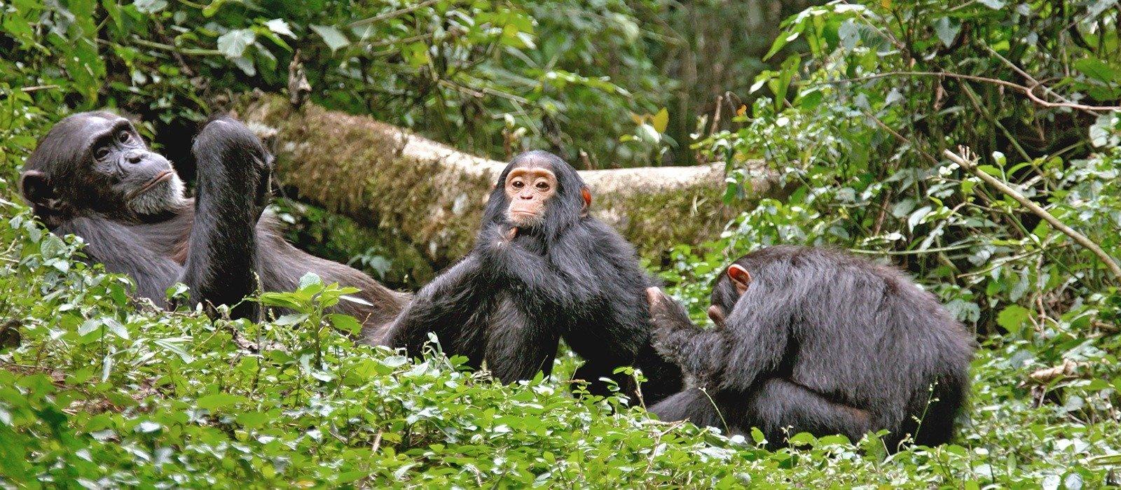 Kibale Forest Chimp Safari