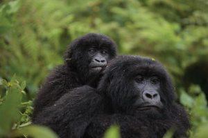 Uganda Gorilla Trekking in Bwindi