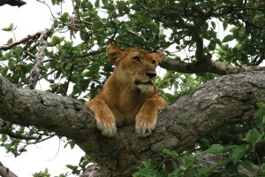 Ishahsha Tree lions