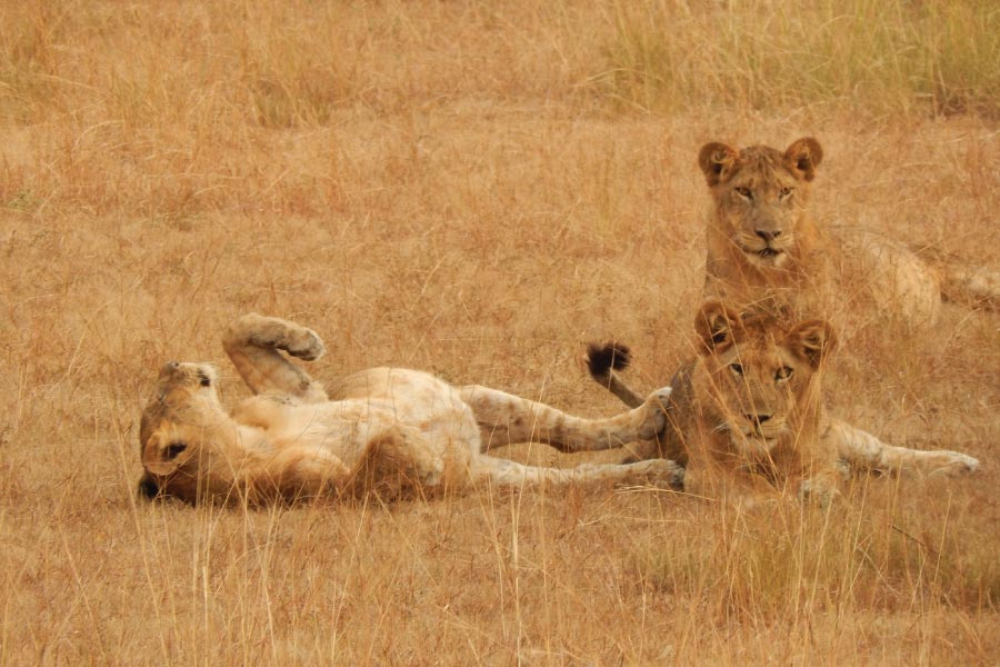 Queen Elizabeth National Park Savanna Lions
