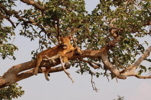 Queen Elizabeth National Park - Tree Climbing Lions