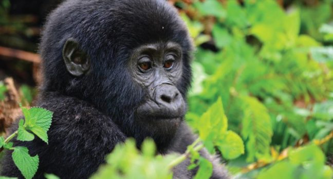 Bwindi Gorilla Tracking Safari