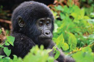 Bwindi Gorilla Tracking Safari