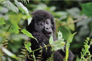 Gorilla Trekking Uganda, Rwanda gorilla tracking