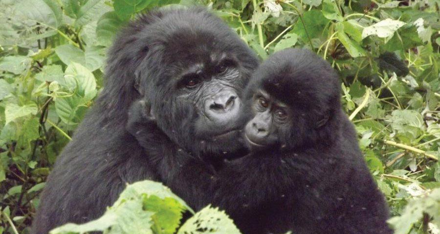 Rwanda Uganda Gorilla Tracking Safari