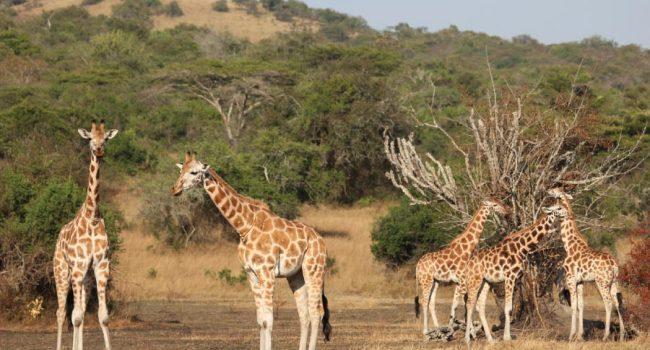 Lake Mburo National Park Savanna Safari, Uganda