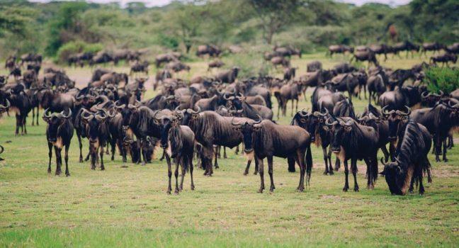 Ngorongoro Wildebeest Migration