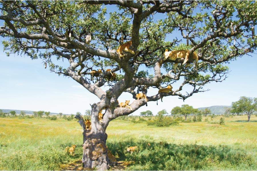 Serengeti National Park tree lions