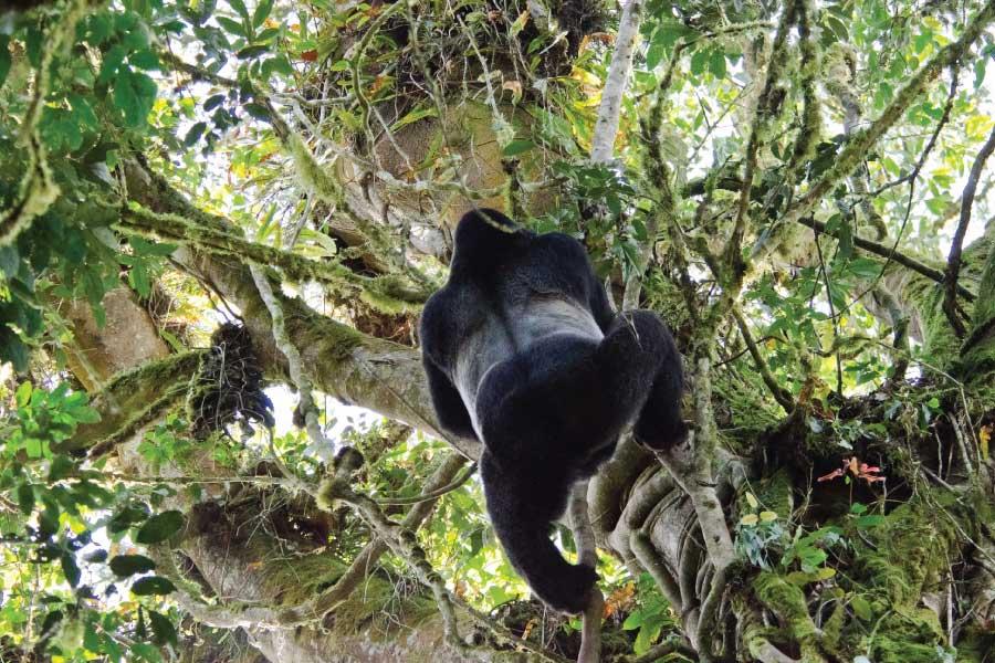 Uganda Rwanda Adventure Safari - Gorilla Tracking in Bwindi