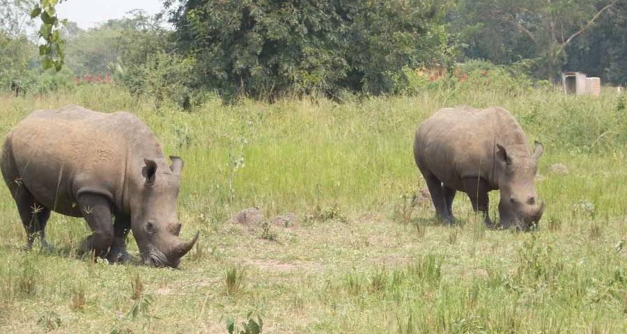 Ziwa Rhino Sanctuary - endangered species Rhino in Uganda