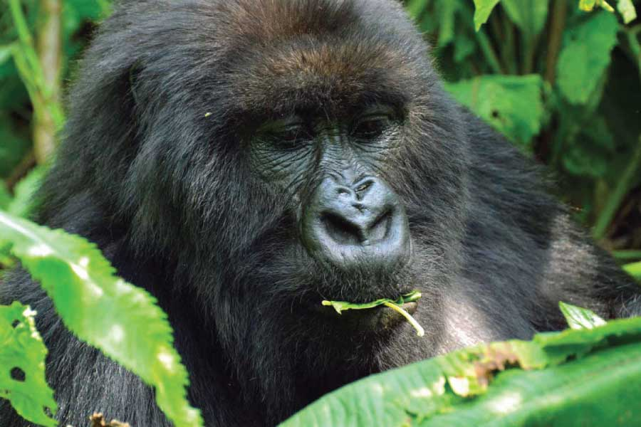 Rwanda Great Apes & Culture Tour - Volcanoes National Park