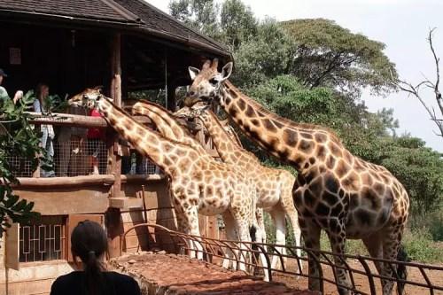 AFEW Giraffe Centre - Karen