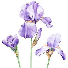 Trio of Irises. Watercolour by Denise SchoenbergTrio of Irises