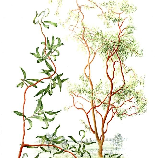 Salix-Erythroflexuosa---Twisted-Willow--by-Hazel-Rush