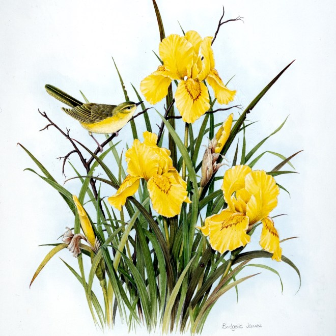 Willow warbler on Flag Irises by Bridgette James