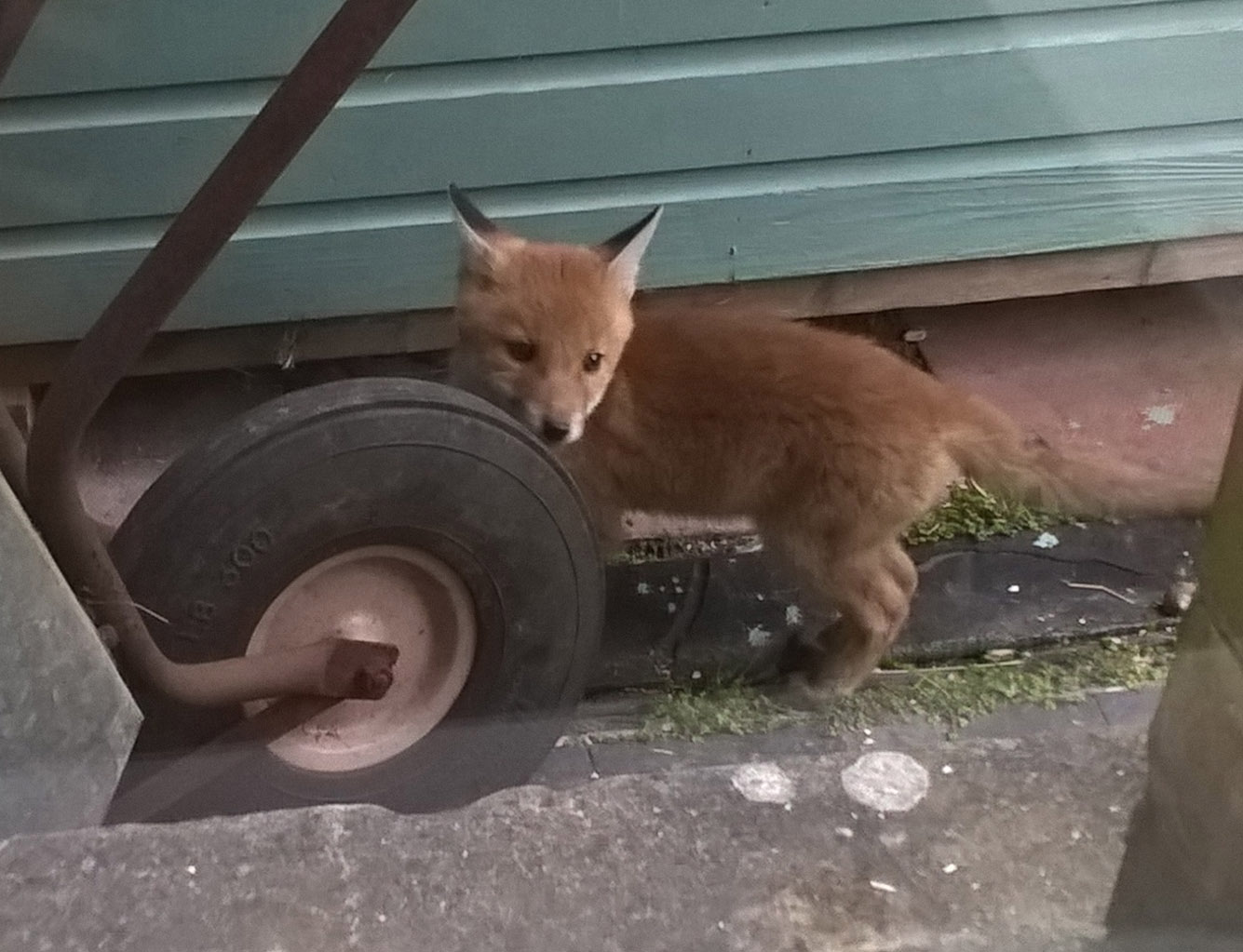 foxcub by wheelbarrow