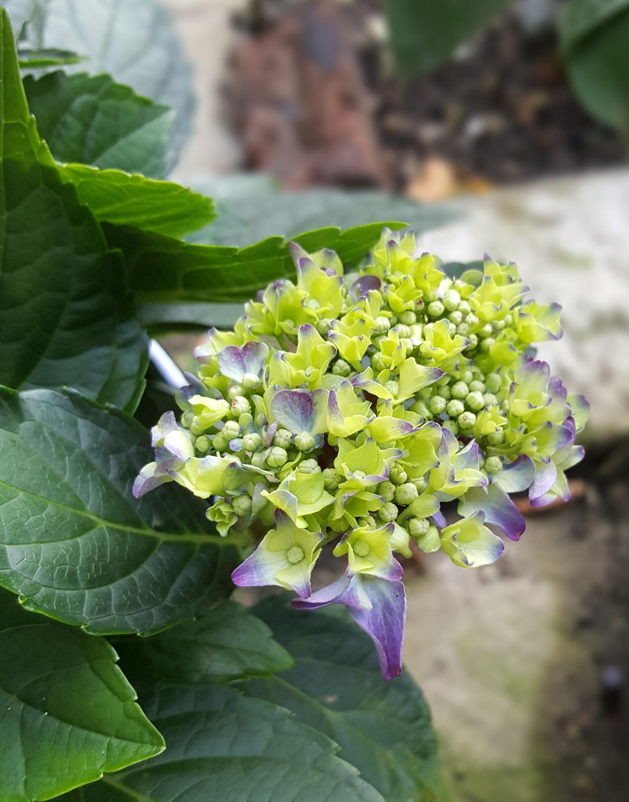 last hydrangea bloom