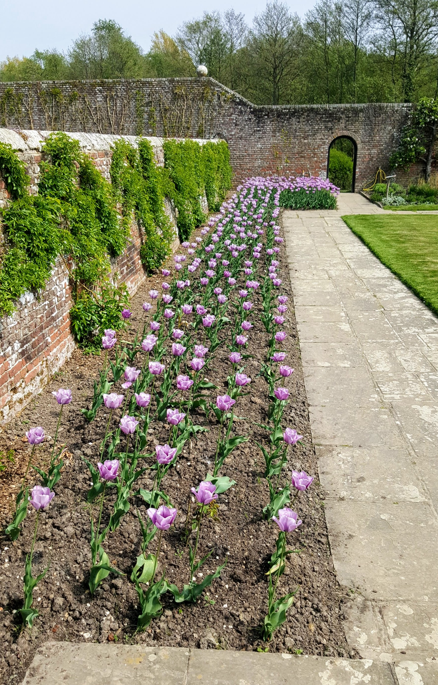 bed of mauve tulips