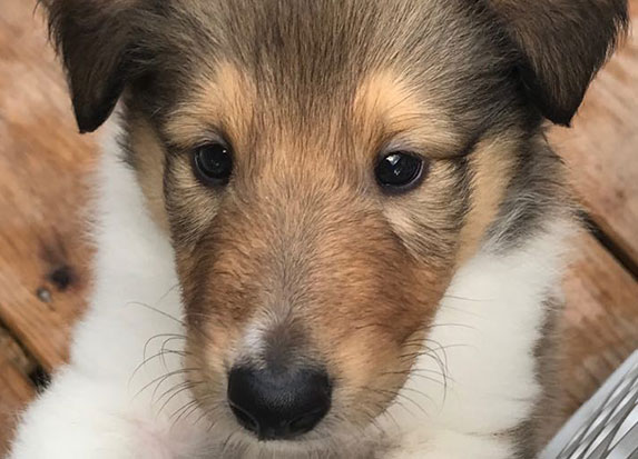 East Coast Collies - rough collie breeders in Wilmington, NC