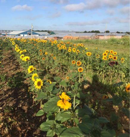 LESTER'S FARM MARKET sunflowers