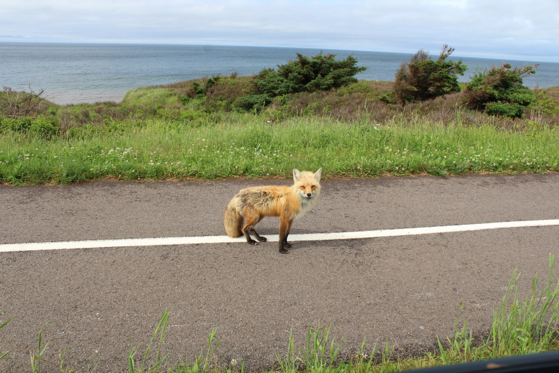 east coast mermaid prince edward island foxes