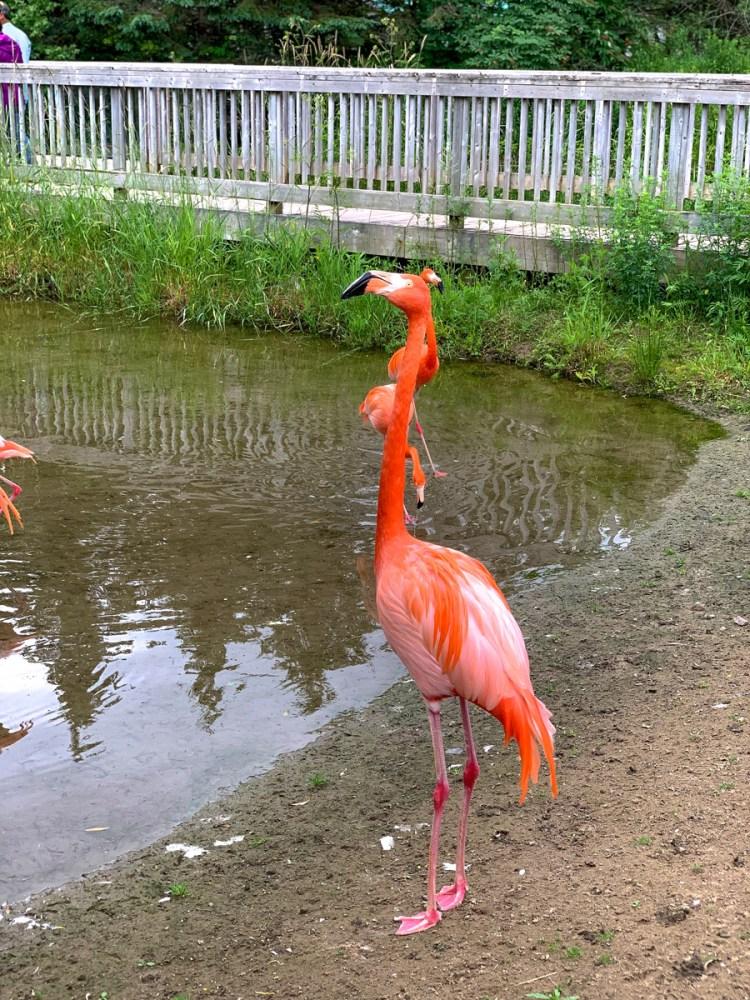 Magnetic Hill Zoo - Flamingo - East Coast Mermaid
