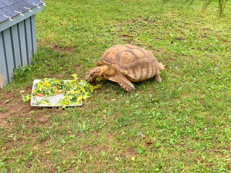 Magnetic Hill Zoo - Tortoise - East Coast Mermaid