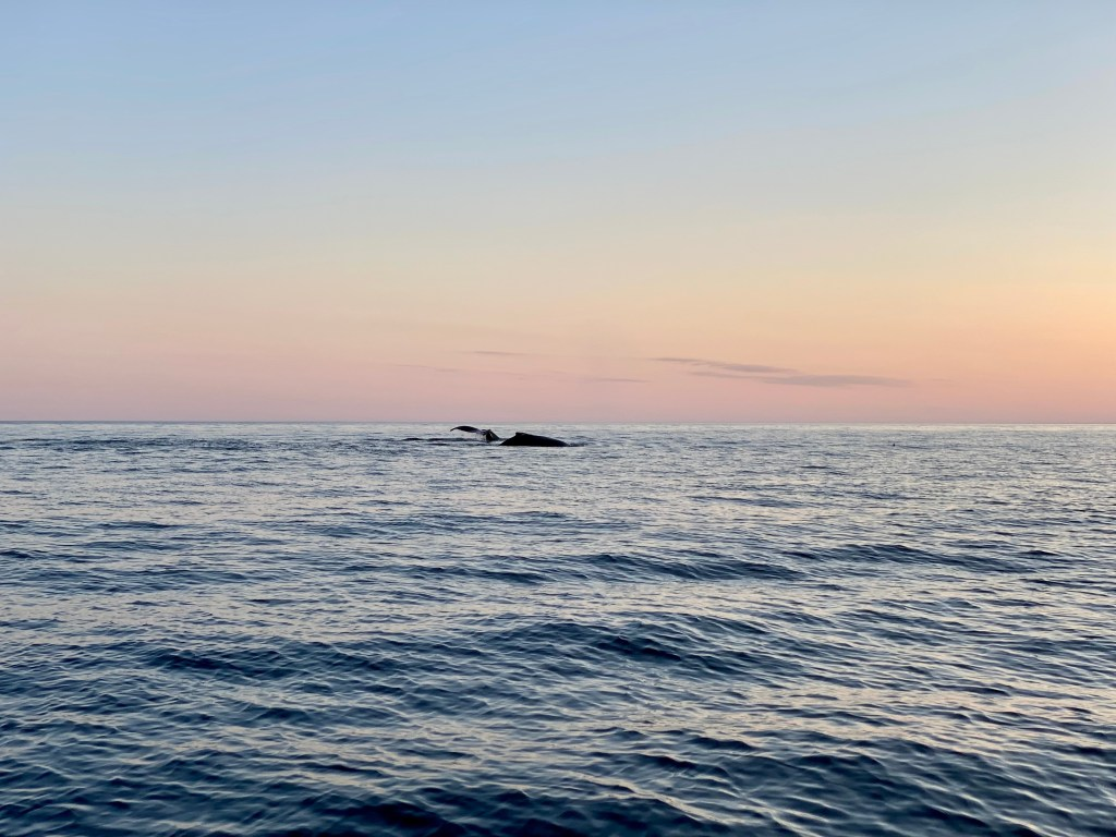 Two whales side by side in the sunrise, one with it's hump above the water and one with it's tail breaching from a different angle