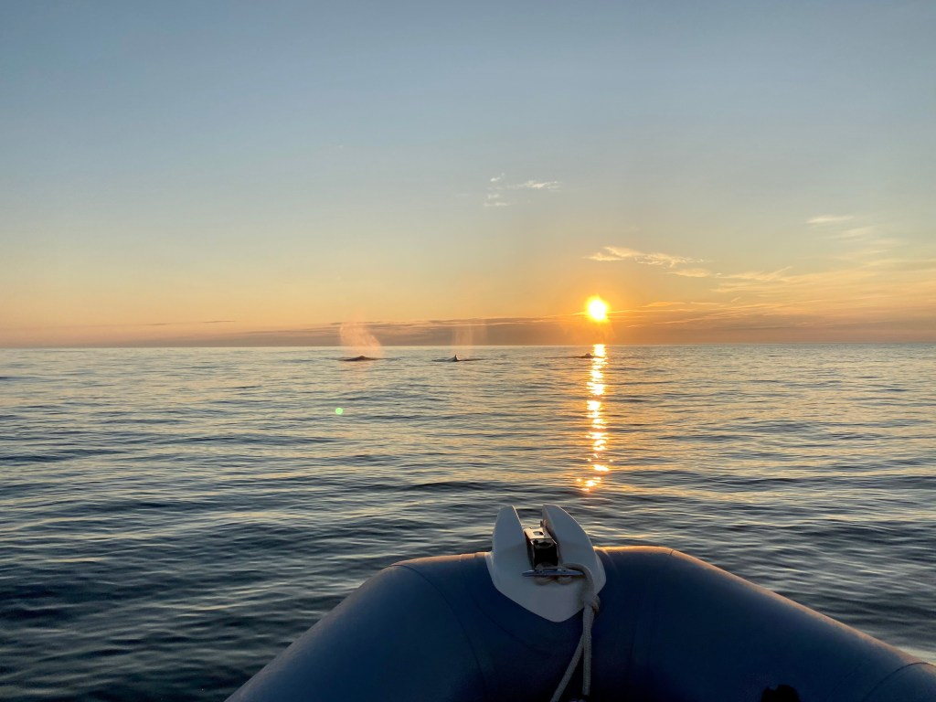 The sun just above the water and 3 whales fins just above the surface of the ocean and the tip of the zodiac visible in the foreground