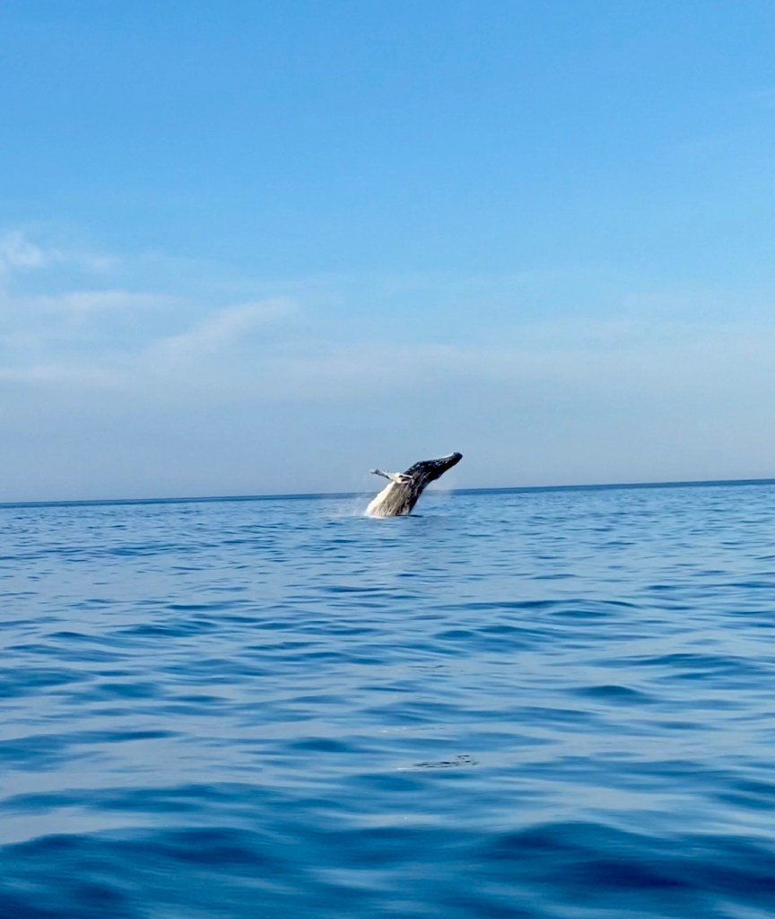 Humpback whale breaching the water off the coast of Grand Manan