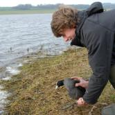 Coot cannon net catch, March 2014 (2)