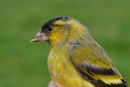 siskin-male-at-the-dubb-oct-2016-spw-1