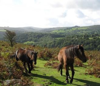 Dartmoor ponies on the open moor at Hunter's Tor