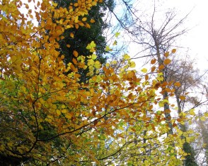Elm tree in autumn, adding colour to Hisley Wood