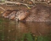 Councillor calls for government to reintroduce beavers across country after animals thrive on River Otter