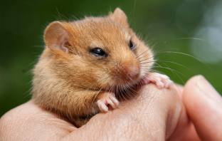 East Devon Sidmouth Hazel dormice are thriving at The Donkey Sanctuary. Picture: Clare Pengelly PTES