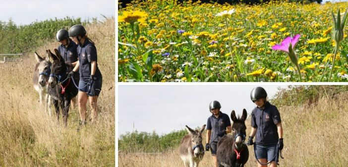 Thistle while they work! – Sidmouth donkeys encourage the growth of wildflowers