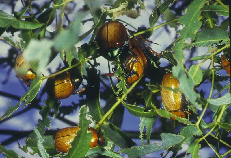 Christmas beetles in a tree