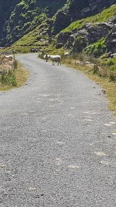 Sheep in the road in County Kerry