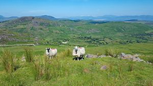 Sheep on the grassy slopes next to the Concrete Road below Cnoc Lochtair.