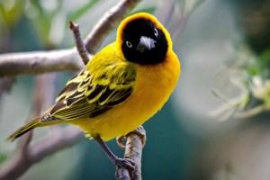 weaver-bird-lake-baringo-kenya