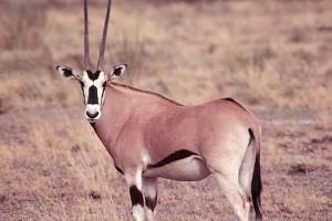 Beisa-Oryx-Samburu-Air-Safari