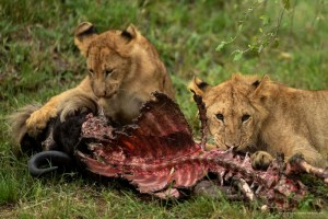 4 Days Safari Safari Tsavo East West Amboseli Tour