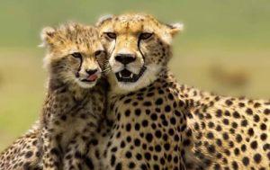 Sarova Salt Lick Game Lodge Safari Groups vacations kenya -Contact us for special group offers