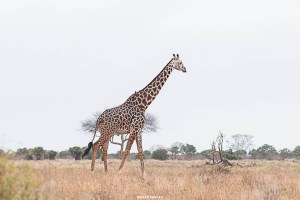Wild animals you will probably see while on your kenya safari