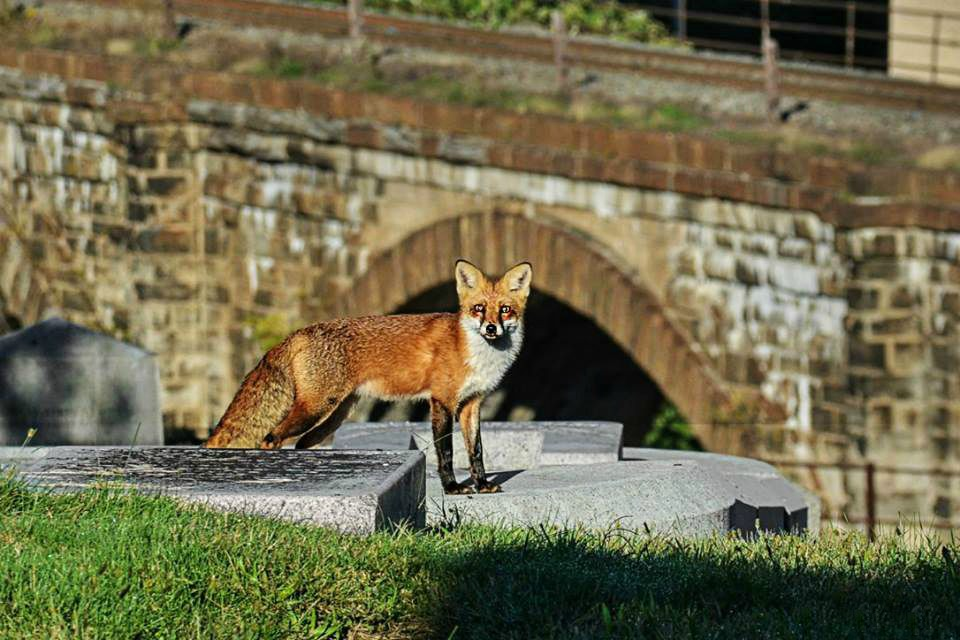 fox-at-laurel-hill-october-retouched