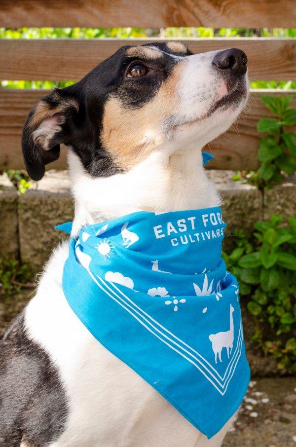 Cute dog wearing turquoise llama bandana